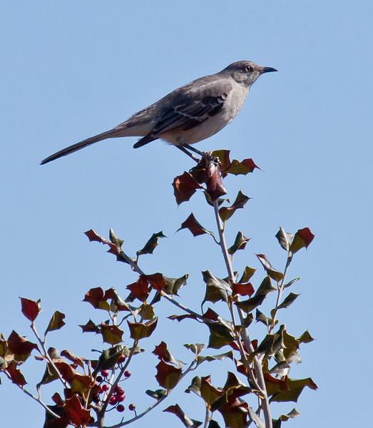 Northen Mockingbird, perched on holy