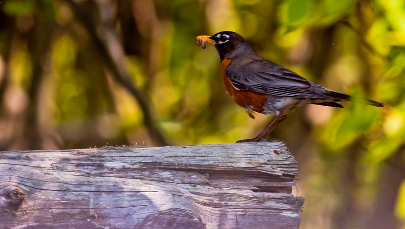 American robin, male with food Phippsburg Maine