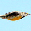 Eastern Meadowlark in flight, right facing, male in breeding plumage, gorgeous yellow gold breast, Maine migratory song bird