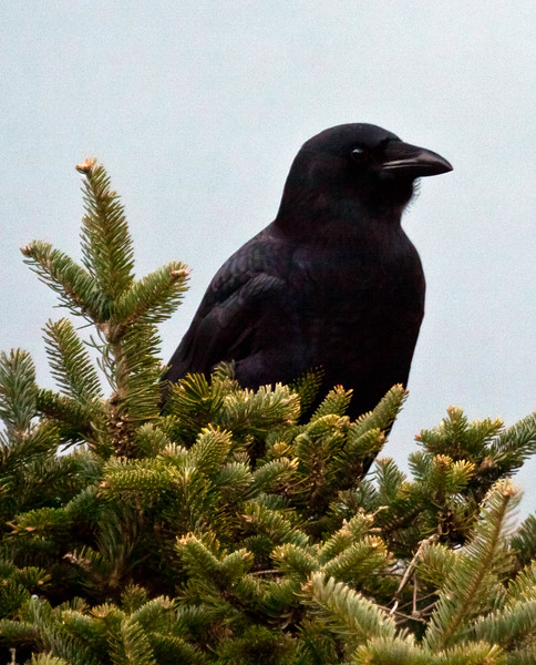 American crow right facing, perched in double Balsam, Phippsburg Maine