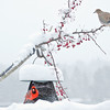 Song sparrow, male Northern cardinal and Mourning dove perched on crab apple branches with fruit in snow and bird feeder, winter, Phippsburg, Maine