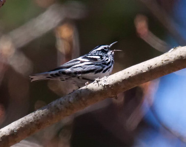 Black And White warblers are migratory in Maine. Black and White Warbler singing its little heart out, Phippsburg, Maine. Mniotilta varia, Black And White warbler, is a migratory song bird in Maine, Phippsburg
