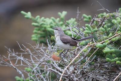 Mockingbird singing, Phippsburg, Maine