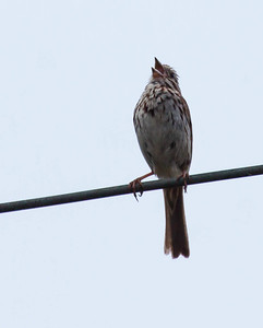 A juvenile Song sparrow singing its little head off, Phippsburg Maine, late July