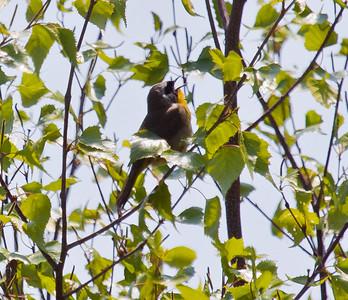 BIRDS SINGING