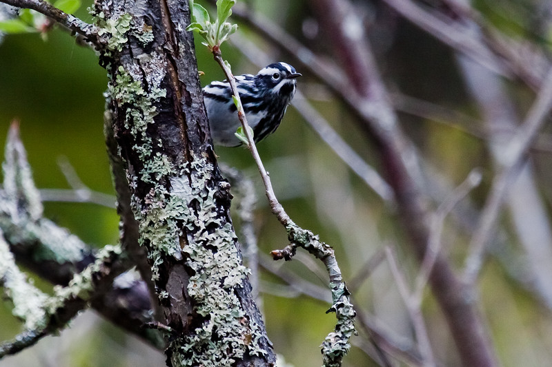 Black and White warbler close up frontal view, migratory songbird, Phippsburg, Maine spring, May