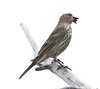 House finch, female with seeds, perched on branch, side view, right facing, close up, four season bird, spring, summer, Phippsburg, Maine