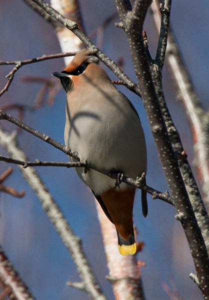 Bohemian Waxwings, Phippsburg, April 1, 2015