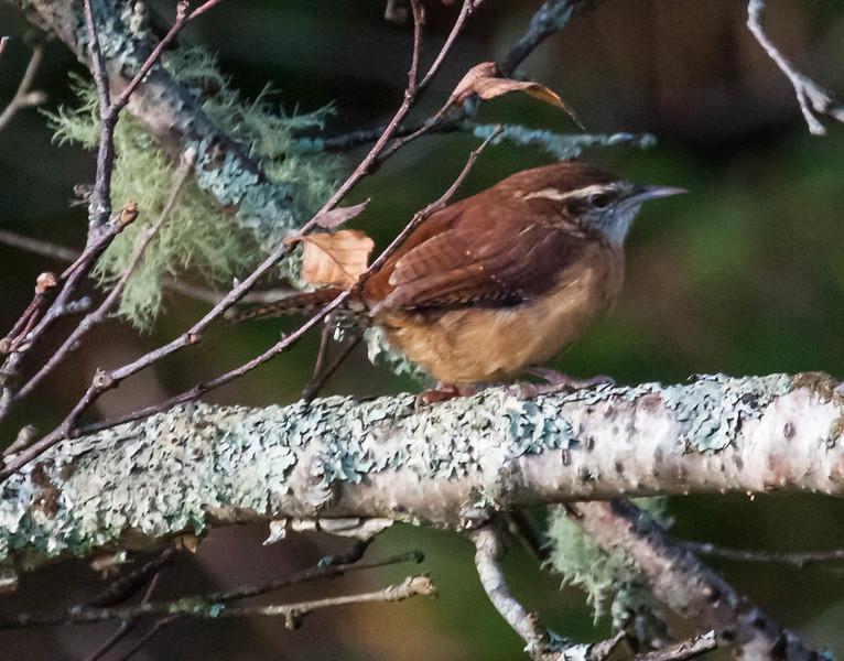 Carolina wrens are uncommon migrants in Maine. Totman Cove, fall, Phippsburg, Maine