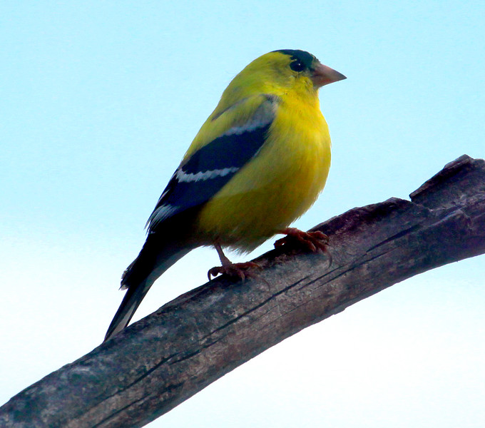 Goldfinch, Male Perched