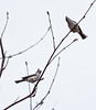 Tufted Titmice, male and female, bonded pair, breeding season, side and frontal views, perched in Mountain ash tree, Phippsburg, Maine, spring and summer birds
