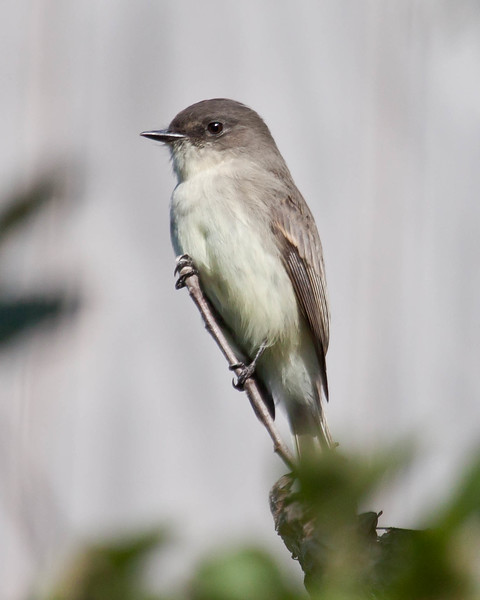 Eastern Phoebe close up, perched on twig, October during autumn migration, Phippsburg, Maine