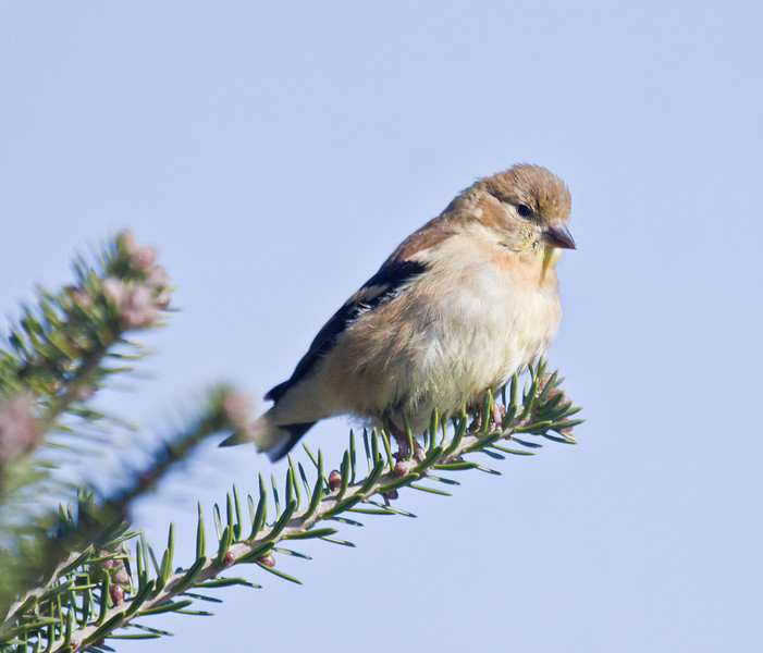 American Goldfinch, male in non breeding plumage, winter bird, perched, Phippsburg, Maine
