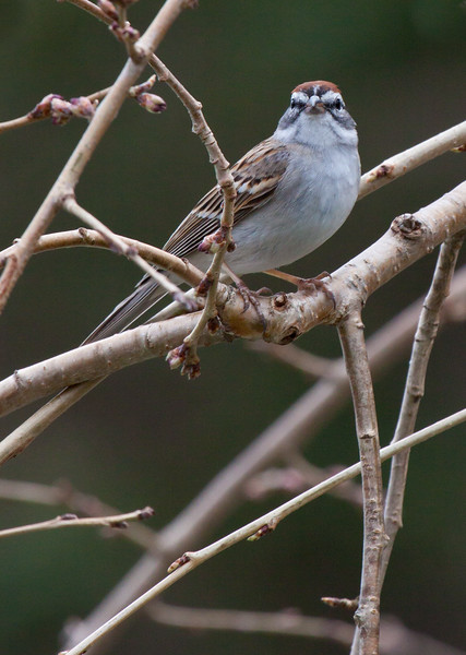 Tree Sparrow perched in Weeping Mulberry, Phippsburg, Maine songbird, close up, frontal view, April, 2010