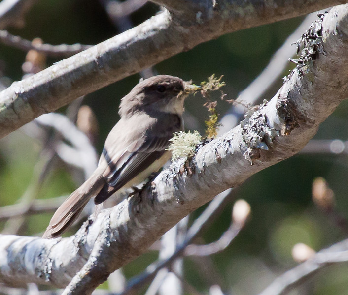 Eastern Phoebe with beak full of moss for nest building, perched on tree limb with Old Man's Beard green lichen, spring and summer bird, Phippsburg, Maine