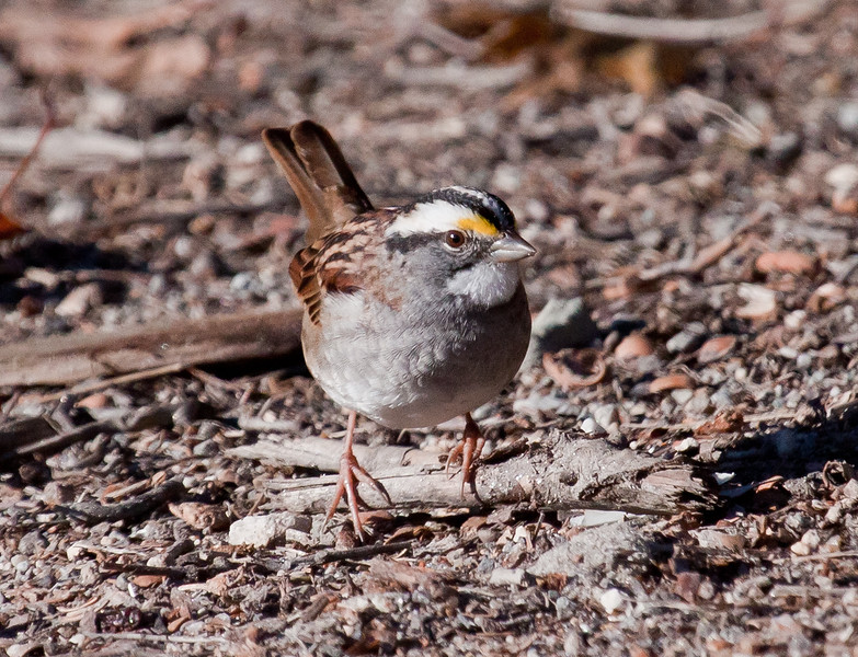 White-throated sparrow, right facing, on the ground, October, 2010, Phippsburg, Maine