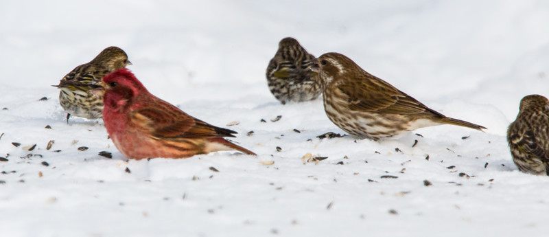 Purple finches, male and female, with Pine Siskins, Phippsburg, Maine, January