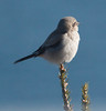Northern Shrike, Phippsburg Maine Totman Cove January 23, 2014