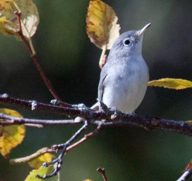 Blue-Gray Gnatcatcher, Phippsburg Maine