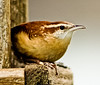 Carolina Wren Phippsburg Maine January 5, 2007