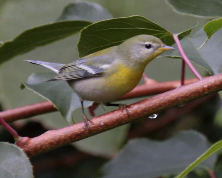 Northern Parula, female Northern Parula
