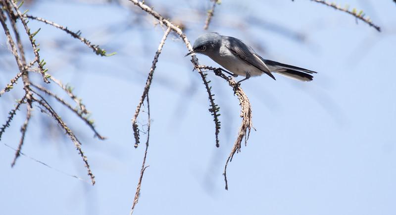 Blue Gray Gnatcatcher, Polioptila caerulea singing. This is a migratory songbird in Maine