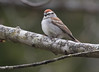 Chipping Sparrow close up, Evergreen Cemetery, Portland Maine May 9