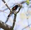 American Redstart,Setophaga ruticilla, male, a colorful, migratory songbird in Phippsburg, Maine