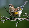 "Warbler - Yellow-Rumped Warbler, ""Myrtle"" warbler, Phippsburg Maine, perched left facing"