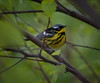 Magnolia Warbler, Dendroica magnolia is a migratory songbird in Maine, Phippsburg, Maine May
