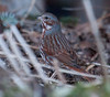 Fox Sparrow, a migratory bird in Phippsburg, Maine. These are our largest sparrows.