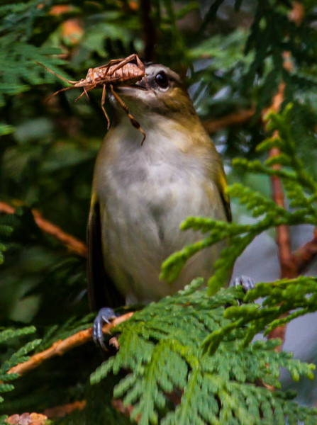 Red Eyed Vireo with Assassin bug, migratory song bird, Maine