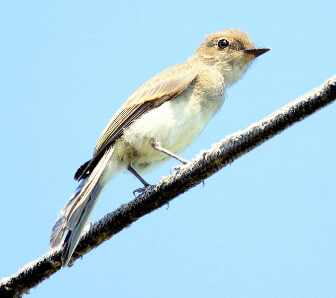 Eastern Phoebe perched on wire, right facing, side view, spring, Phippsburg, Maine, close up