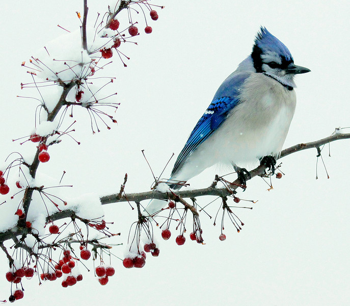 Blue Jay on crab apple branch, winter in snow, Phippsburg Maine