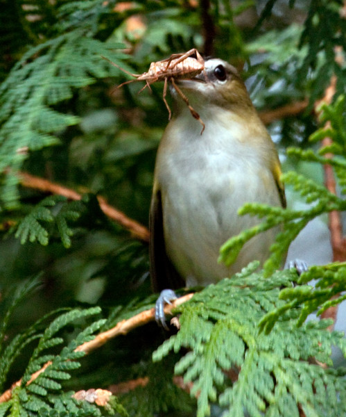 Red-eyed Vireo With Assassin Bug