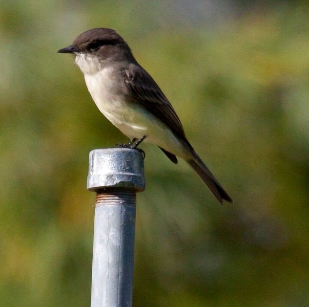 Eastern Phoebe perched on post, close up, side view, left facing, spring and summer bird, Phippsburg, Maine