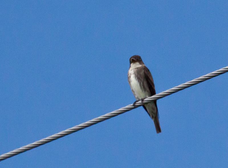 Olive-sided Flycatcher, Phippsburg, Maine June 2012