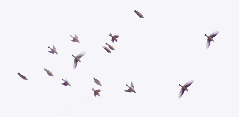 Cedar waxwing flock in flight, Phippsburg, Maine, birds in flight, Silk Tails