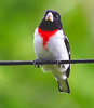 Male Rose-breasted grosbeak perched on a wire, close up, frontal view, Phippsburg, Maine