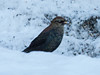 Lone Rusty Blackbird continues at my feeders in Phippsburg, Maine December