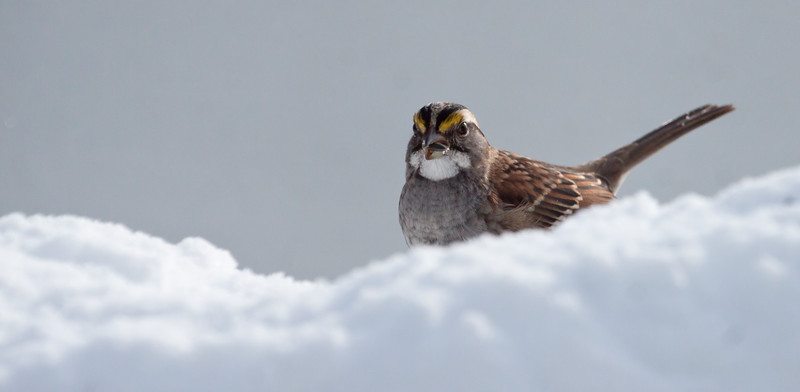 White Throated Sparrow with seed in snow, frontal and partial side view, forward facing close up, winter bird, Phippsburg, Maine