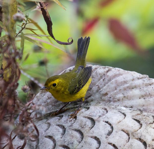 Common Yellow Throat warbler in my Phippsburg, Maine garden, September 30.  Migration in action!