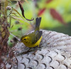 Common Yellow Throat warbler in my Phippsburg, Maine garden, September 30.  Migration in action!