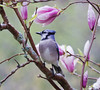 Bluejay perched in magnolia soulangiana, spring, Phippsburg, Maine. Lovely!