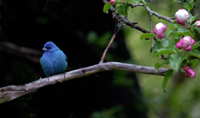 Indigo Bunting, male perched in apple tree with blossoms, Phippsburg, Maine spring