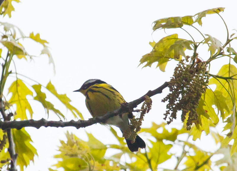 Magnolia warblers are migratory songbirds in Maine. Phippsburg