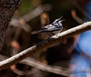 Black And White warbler singing, right facing, Phippsburg Maine