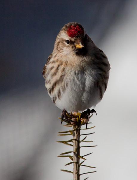 Common Redpoll, female, winter, Phippsburg Maine