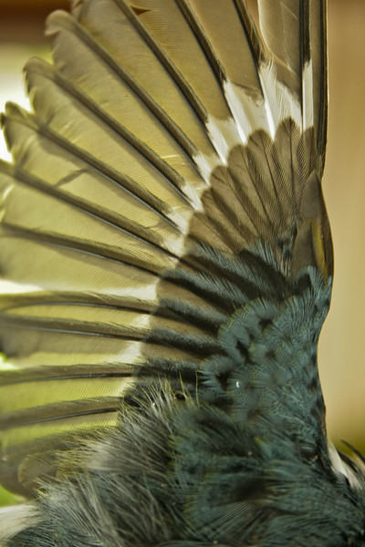 Black-throated Blue warbler, wing detail, Phipppsburg Maine