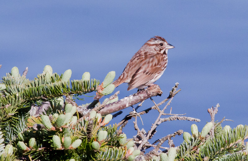 Song sparrow, perched in Balsam, Phippsburg Maine